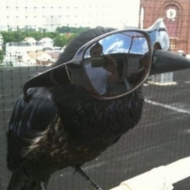 It's amazing what you can find with a Google Images search. I searched for 'crow with sunglasses' and voila!