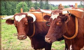 To be yoked together with someone, like these oxen, is to be unable to move independently from them.