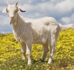 A domestic goat