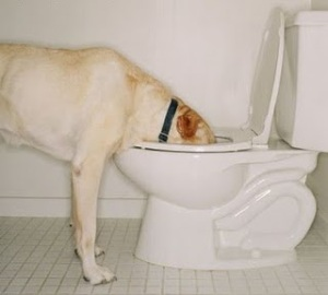 Not a picture of our yellow Lab, Jenny, drinking out of the john. We keep the lids down on our toilets for precisely this reason.
