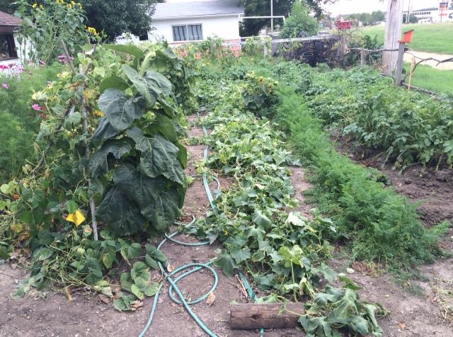 My mom's garden in early  September 2016
