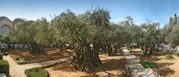 The Garden of Gethsemane, photographed in 2012.